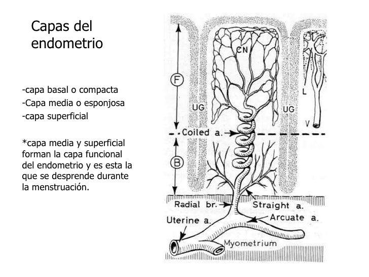 Capas del endometrio<br />-capa basal o compacta <br />-Capa media o esponjosa<br />-capa superficial<br />*capa media y s...