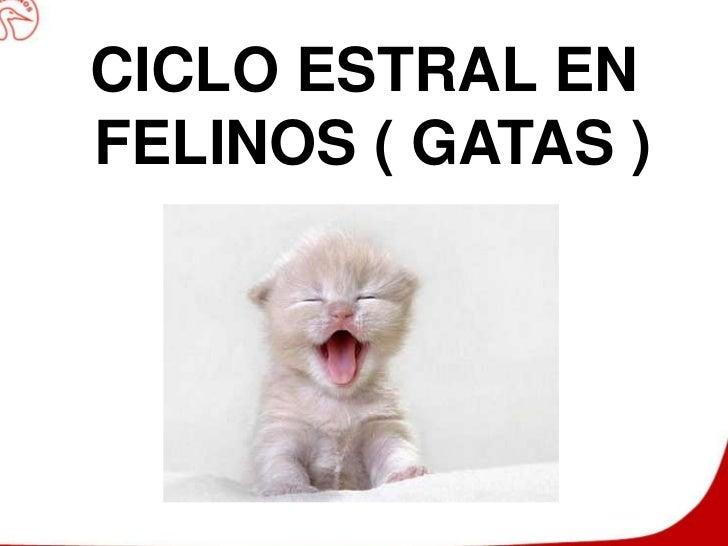 CICLO ESTRAL EN FELINOS ( GATAS )<br />