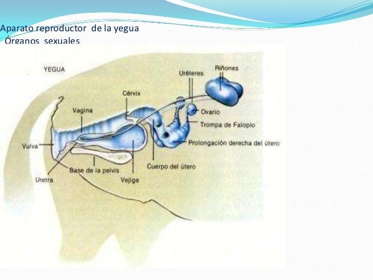 Vistoso Hembra Diagrama De Sistema Reproductivo Festooning ...