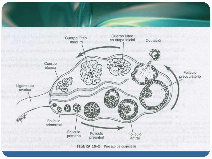esteroidogenesis enzimas