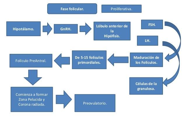 Hipotálamo. GnRH. Lóbulo anterior de la Hipófisis. LH. FSH. Fase folicular. Maduración de los Folículos. Células de la gra...