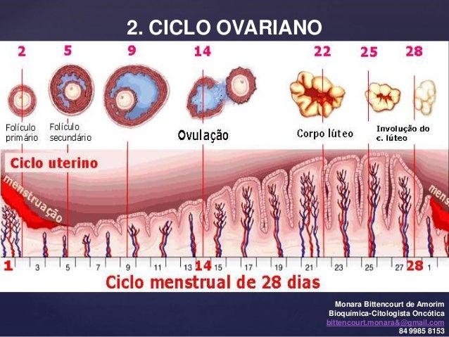 2 fase do ciclo menstrual pdf