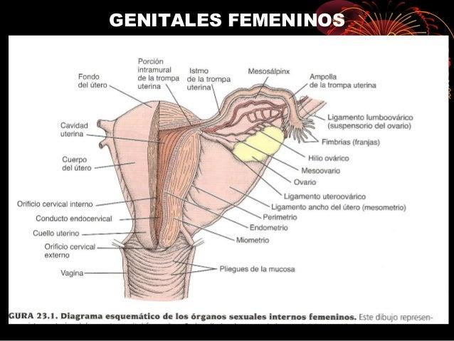 Ciclo ovarico y ovulacion