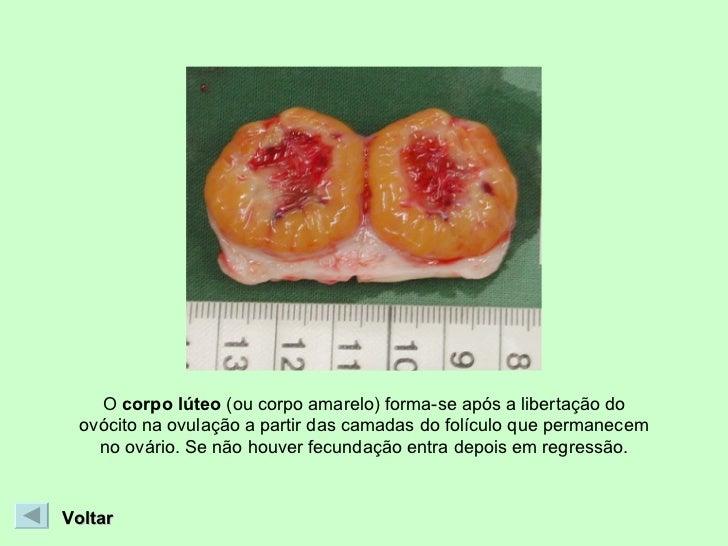O  corpo lúteo  (ou corpo amarelo) forma-se após a libertação do ovócito na ovulação a partir das camadas do folículo que ...
