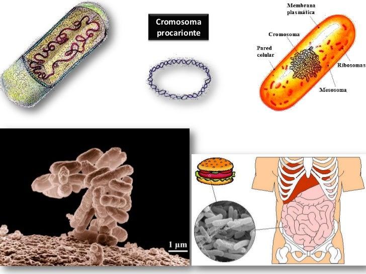Funciones de los ácidos nucléicos.<br />Son los responsables de contener la información genética y regular la expresión de...