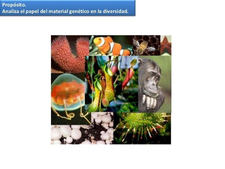 Propósito.<br />Analiza el papel del material genético en la diversidad.<br />