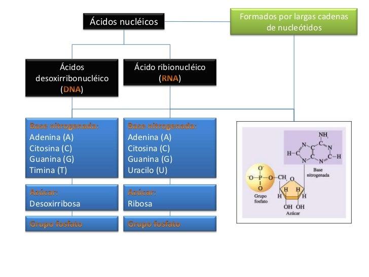 Formados por largas cadenas de nucleótidos<br />Ácidos nucléicos<br />Ácidos desoxirribonucléico<br />(DNA)<br />Ácido rib...
