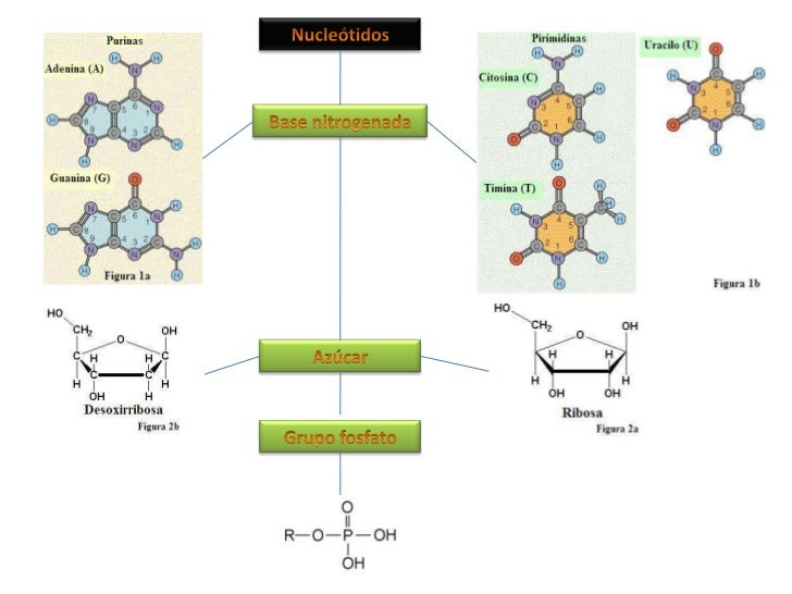 Nucleótidos<br />Base nitrogenada<br />Azúcar<br />Grupo fosfato<br />