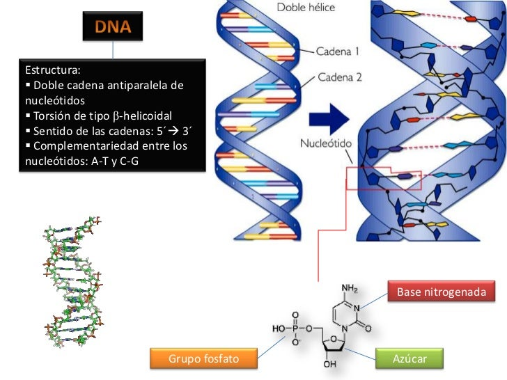DNA<br />Estructura:<br /><ul><li> Doble cadena antiparalela de nucleótidos