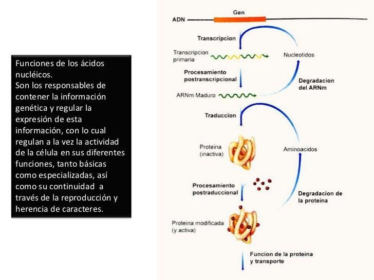 Complementariedad entre los nucleótidos: A-T y C-G</li></ul>Base nitrogenada<br />Azúcar<br />Grupo fosfato<br />