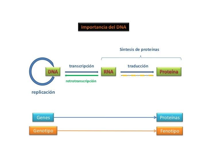 RNA<br />Estructura:<br /><ul><li> Cadena sencilla de nucleótidos