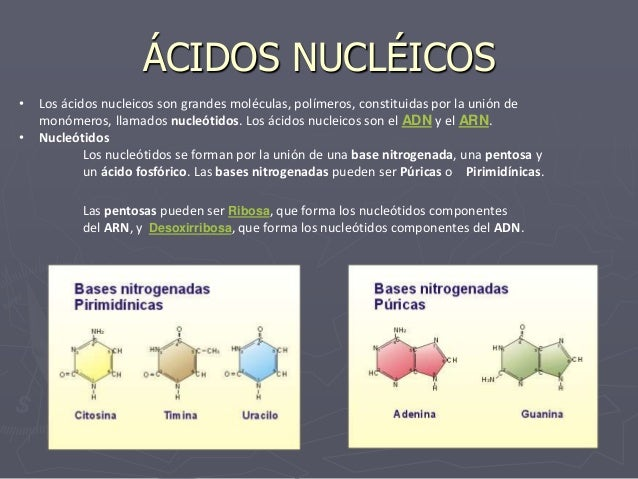 ÁCIDOS NUCLÉICOS • Los ácidos nucleicos son grandes moléculas, polímeros, constituidas por la unión de monómeros, llamados...