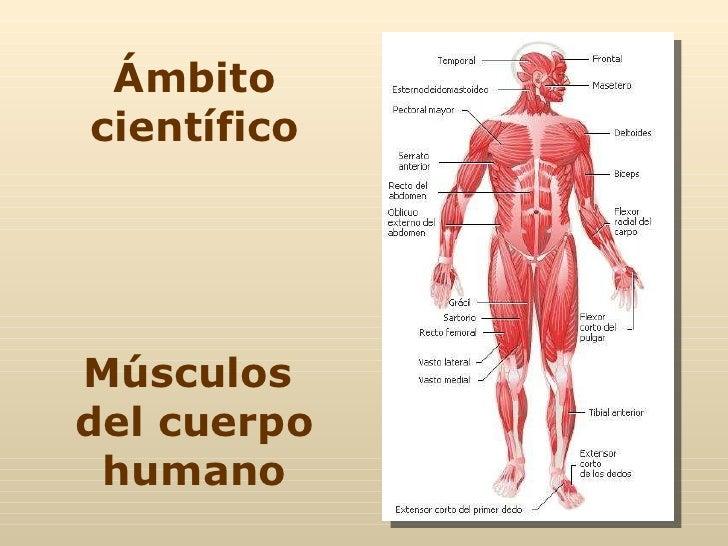Ámbito científico Músculos  del cuerpo humano