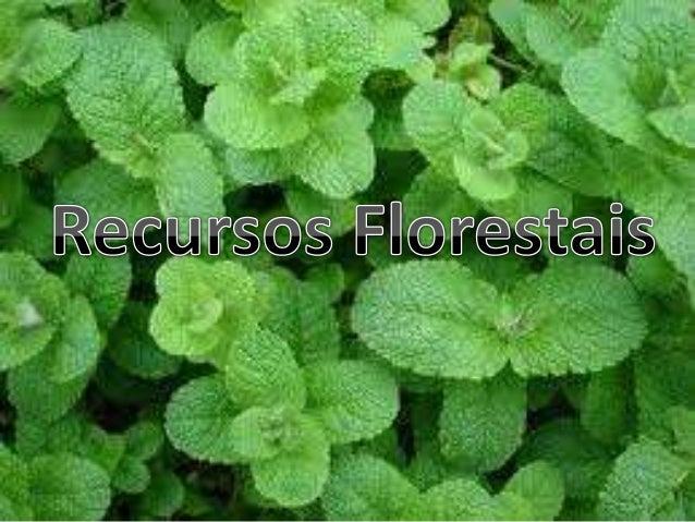 • Nome Cientifico:Rosmarinus officinalis • Utilidade: Combate males do fígado, rins e intestinos. O chá é bom para combate...