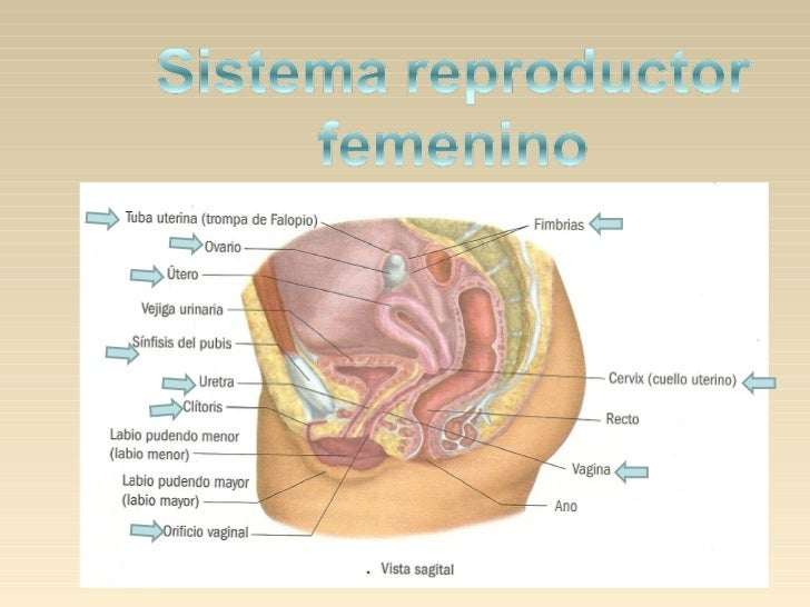 Cerviz, cuello uterino.Extremo más bajo y estrecho del útero que seabre en la vagina. Con frecuencia se ledenomina cuello ...