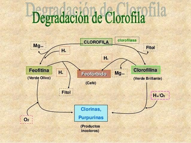 clorofilasa                            CLOROFILA      Mg++                                                    Fitol       ...