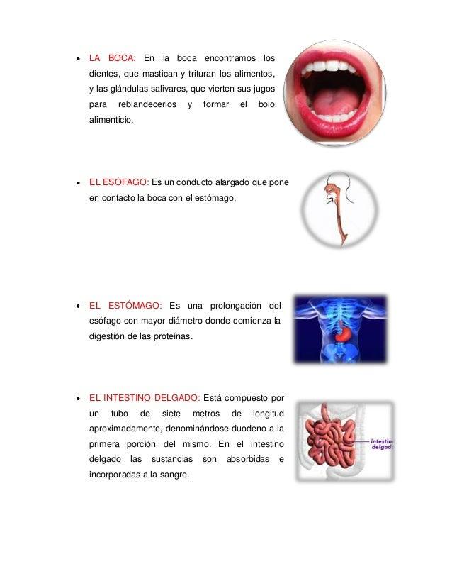 LA BOCA: En la boca encontramos losdientes, que mastican y trituran los alimentos,y las glándulas salivares, que vierten s...
