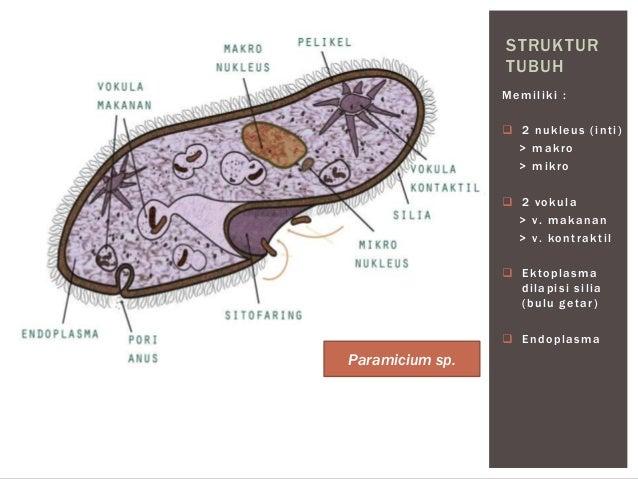 Protista > Protozoa > Ciliata