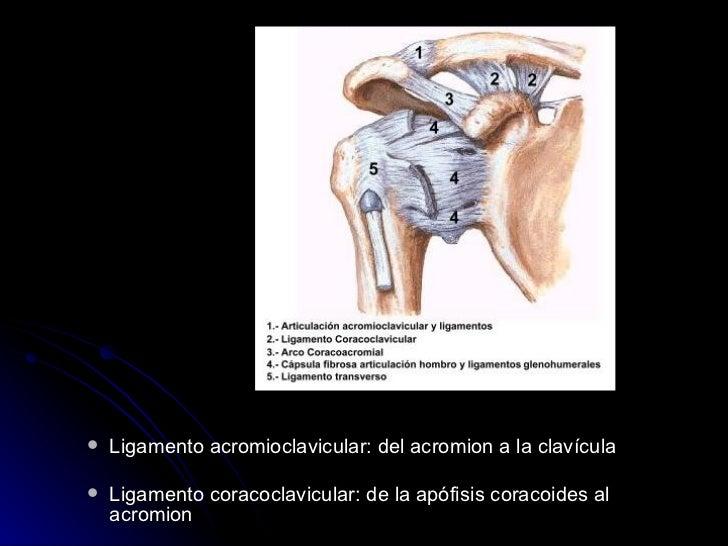 <ul><ul><li>Ligamento acromioclavicular: del acromion a la clavícula </li></ul></ul><ul><ul><li>Ligamento coracoclavicular...
