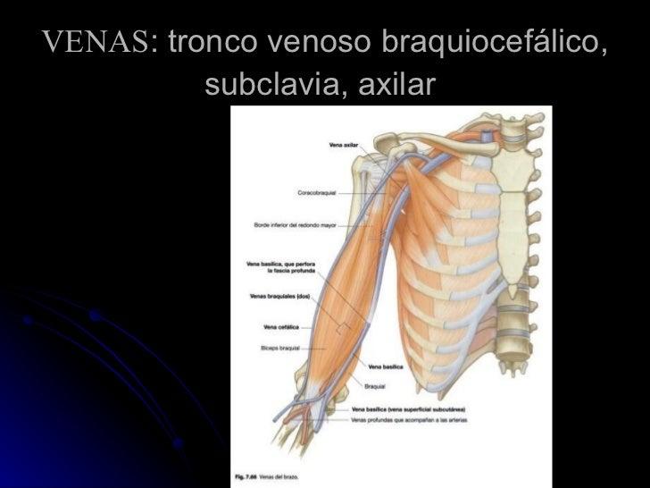 VENAS : tronco venoso braquiocefálico, subclavia, axilar