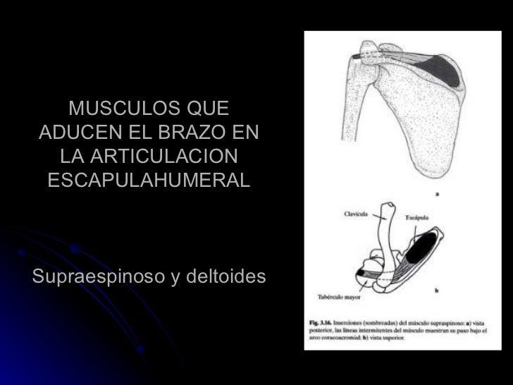 MUSCULOS QUE ADUCEN EL BRAZO EN LA ARTICULACION ESCAPULAHUMERAL Supraespinoso y deltoides