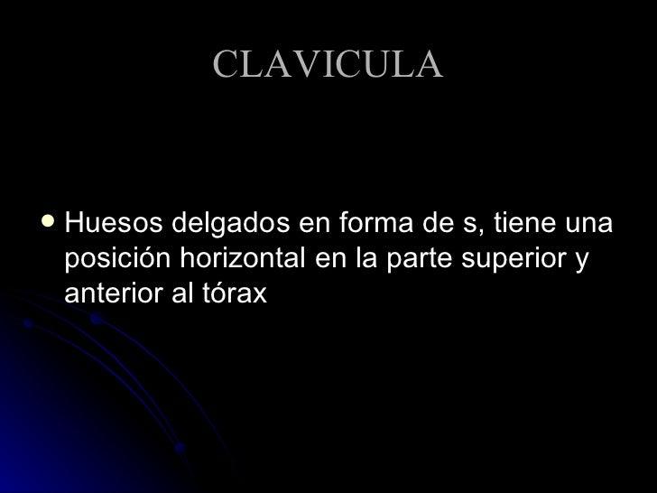 CLAVICULA <ul><li>Huesos delgados en forma de s, tiene una posición horizontal en la parte superior y anterior al tórax </...