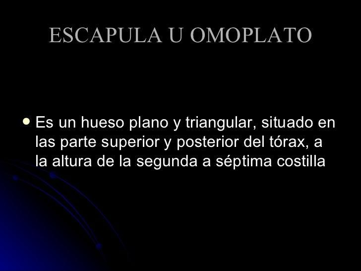 ESCAPULA U OMOPLATO <ul><li>Es un hueso plano y triangular, situado en las parte superior y posterior del tórax, a la altu...