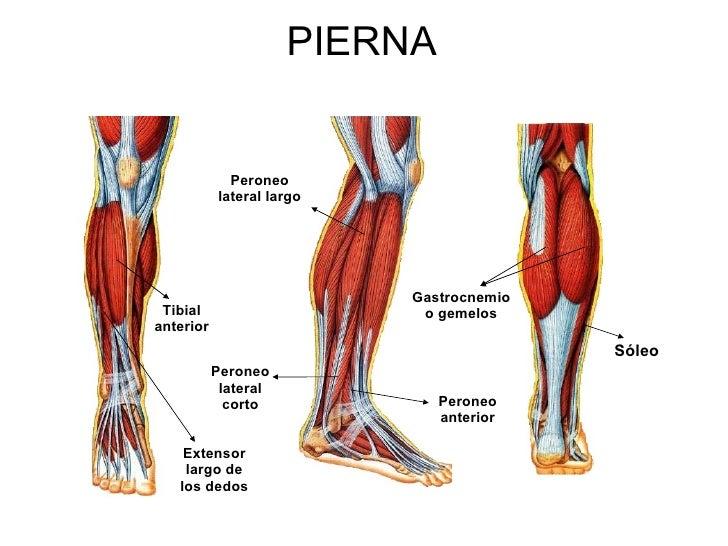 Excelente Peroneo Cresta - Anatomía de Las Imágenesdel Cuerpo Humano ...