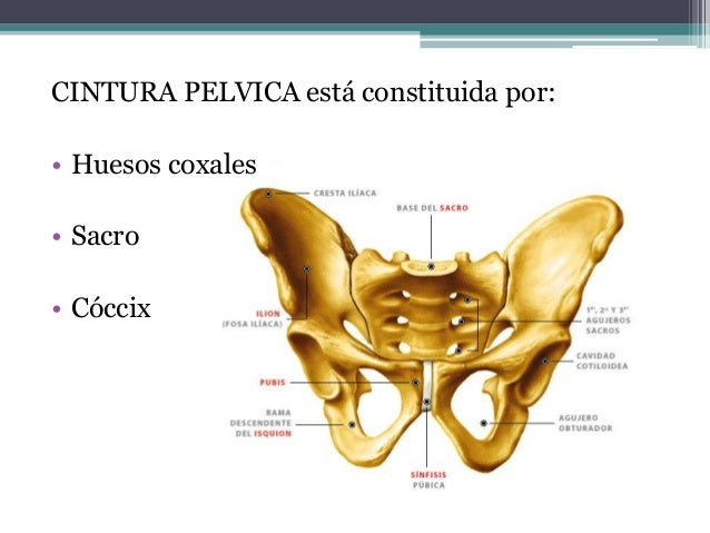 Cintura pélvica y miembro inferior