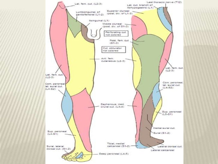 Cutaneous innervation of lower limb