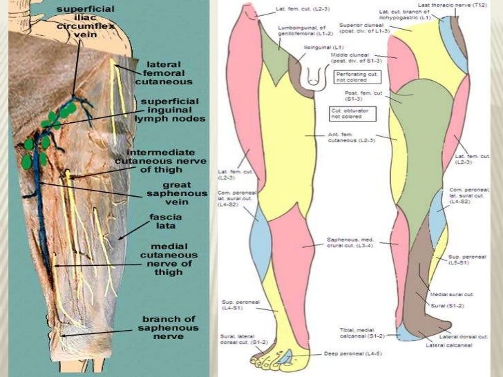 cutaneous innervation of lower limb, Muscles