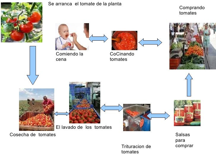 Se arranca  el tomate de la planta Cosecha de  tomates El lavado de  los  tomates Trituracion de tomates Salsas  para comp...