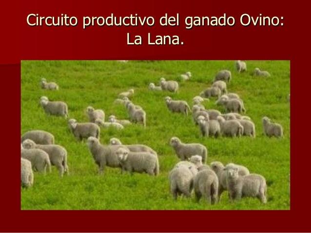 Circuito productivo del ganado Ovino:               La Lana.