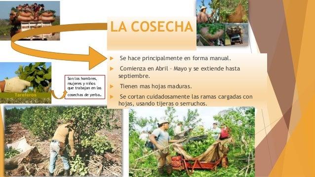 Circuito Productivo De La Yerba Mate : Circuito productivo yerba mate