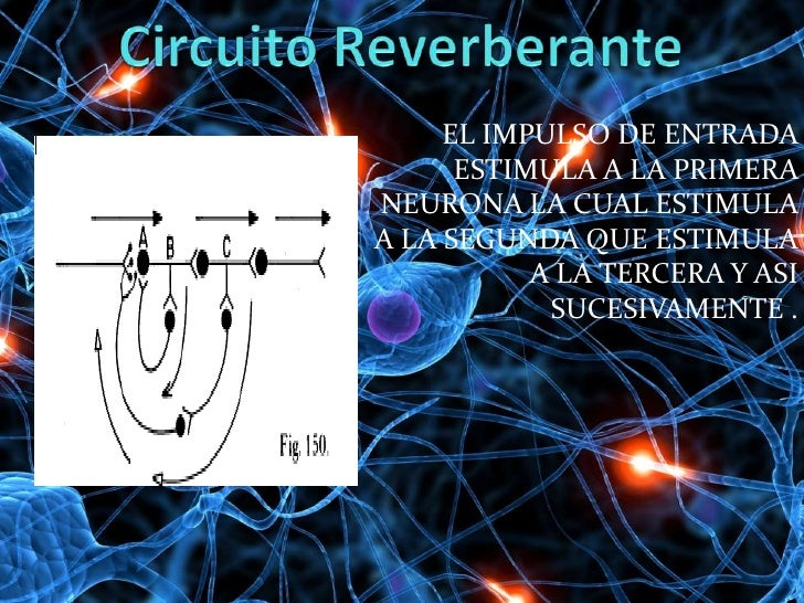 Circuito Nervioso : Circuitos nerviosos