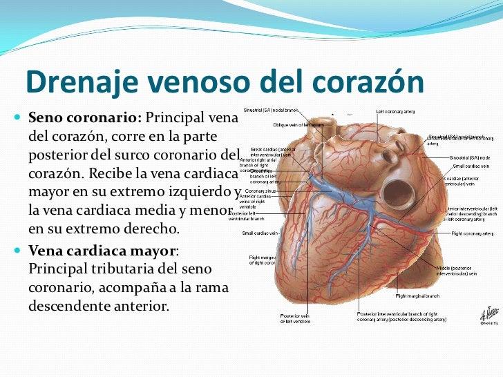 Moderno Anatomía Vascular Pecho Molde - Anatomía de Las Imágenesdel ...