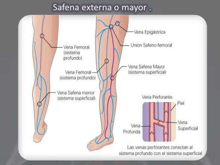 Excepcional Anatomía De La Vena Safena Componente - Anatomía de Las ...