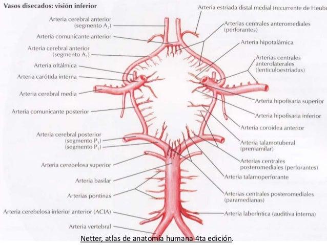 Circulacion del cerebro