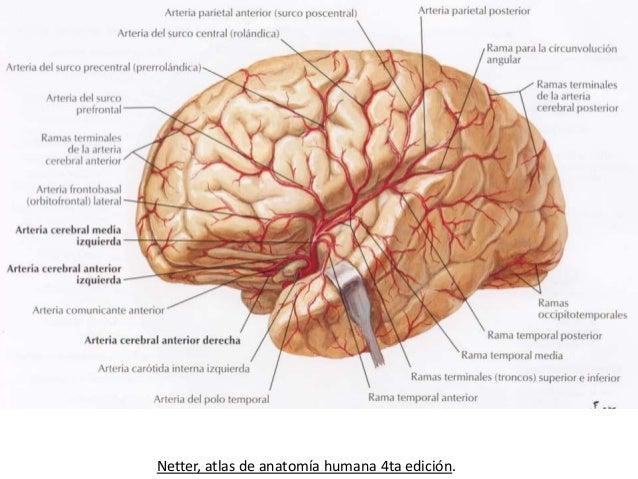 Circulacion del cerebro - Medias para la circulacion ...