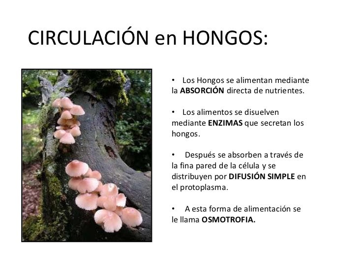 Circulaci n en hongos - Alimentos para la circulacion ...