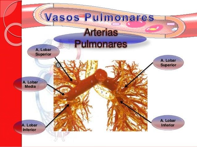 Circulacion pulmonar - Medias para la circulacion ...