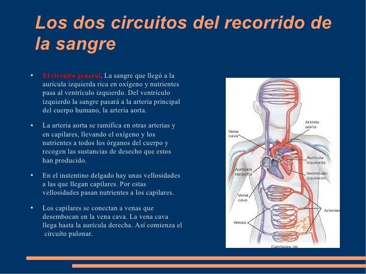 Circuito Que Realiza La Sangre : La circulación sanguínea