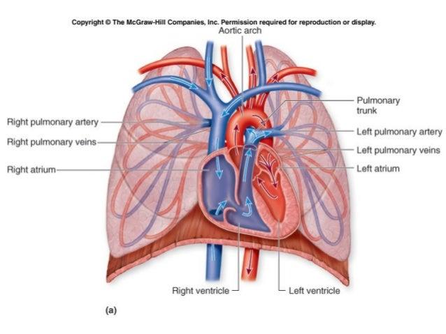 circulation, Human Body