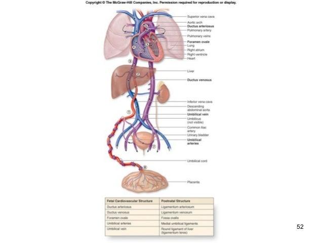 Umbilical Arteries Heart Diagram House Wiring Diagram Symbols