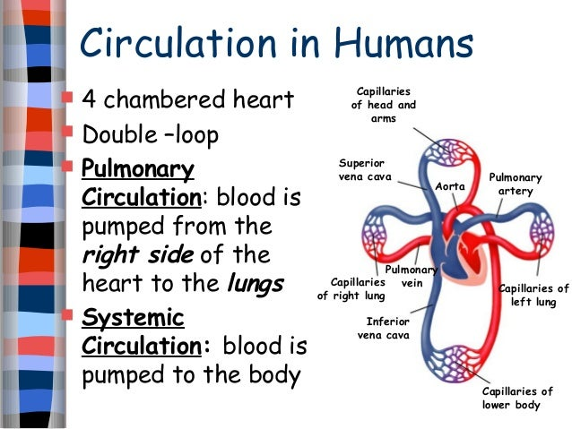 Circulation human heart shortened and revised