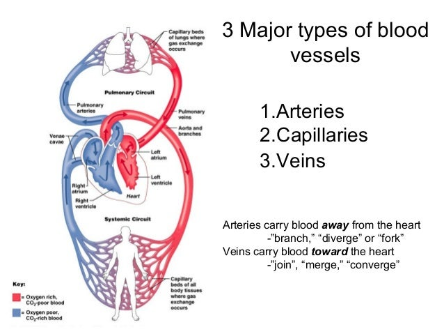 """3 Major types of blood vessels 1.Arteries 2.Capillaries 3.Veins Arteries carry blood away from the heart -""""branch,"""" """"diver..."""