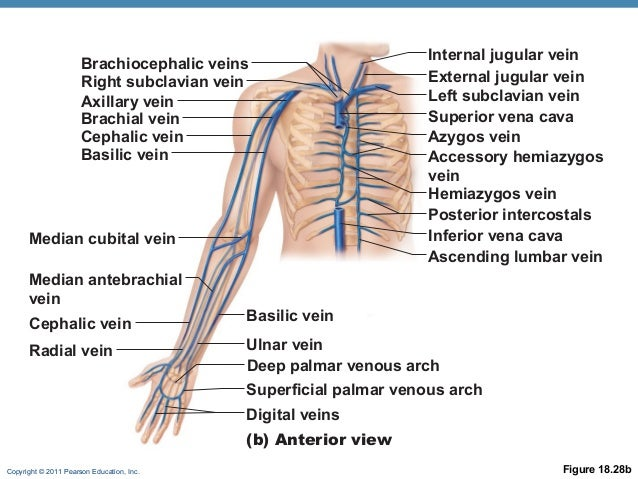 circulation online, Cephalic Vein
