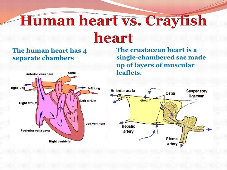 Crayfish Circulatory System