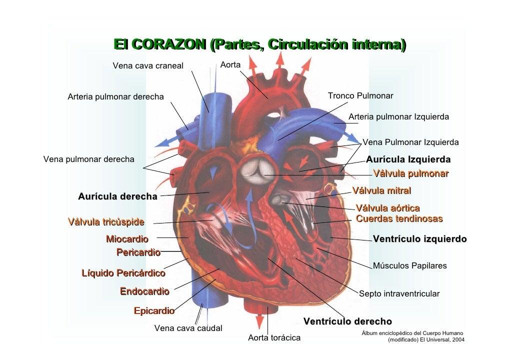 Lujoso Diferentes Partes Del Corazón Regalo - Anatomía de Las ...
