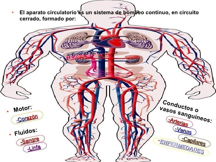 Circuito Sanguineo : Aparato circulatorio